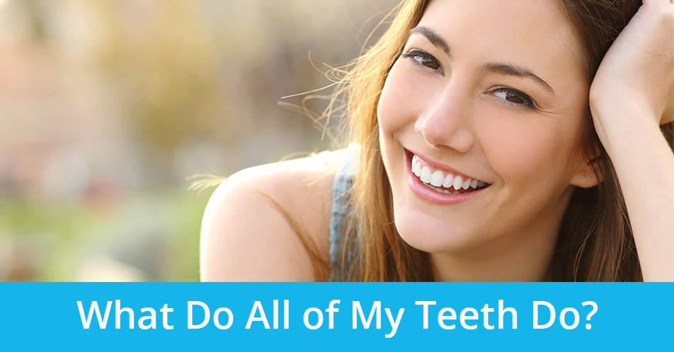 What Do All of My Teeth Do?